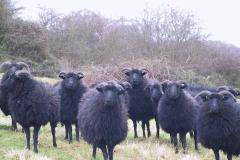 Sheep Jan 2005