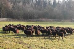 Sheep in meadow 1 Dec 2016