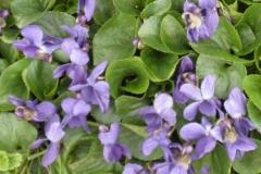 Wood violets Apr 2015