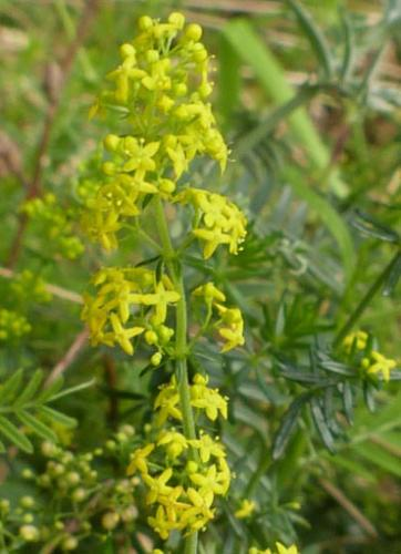 Ladys Bedstraw