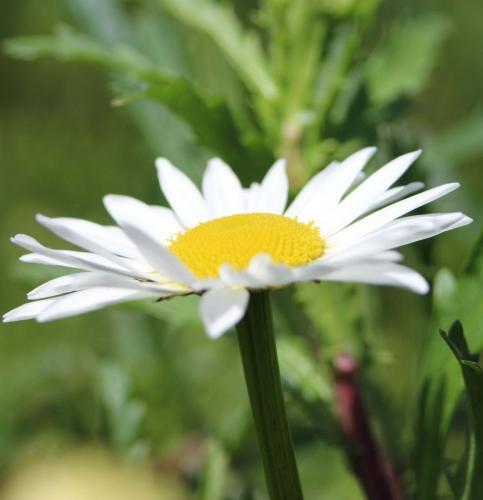 Ox-eye Daisy (1) (1)