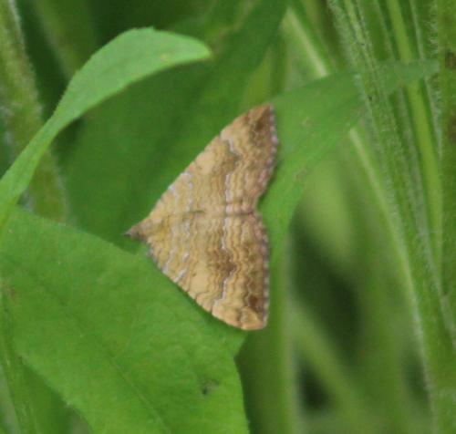 Yellow Shell moth1