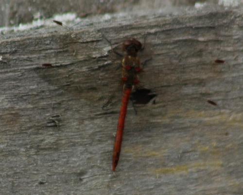 common Darter (male)