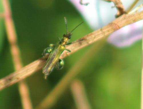 false oil beetles