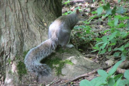 grey squirrel (1)