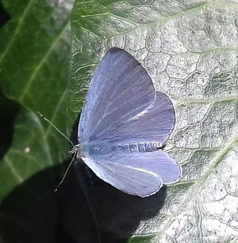 holly blue 1