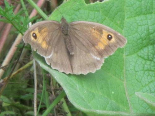 meadow brown1