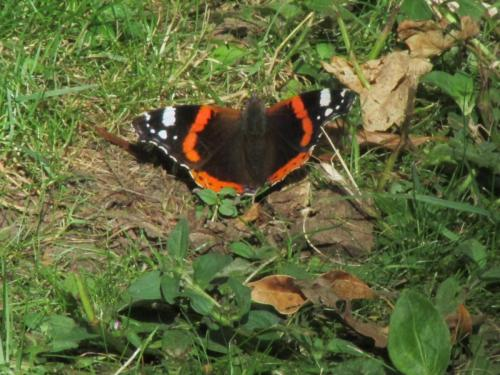 red admiral 1