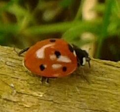 seven-spot ladybird-1