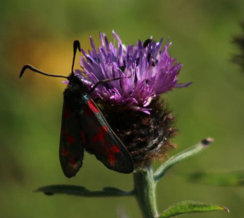 six spot burnet moth 1
