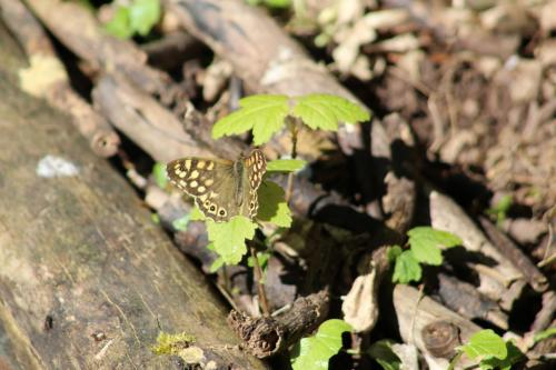 speckled wood 1